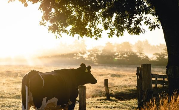 animal-cattle-cow-1276235-1