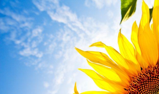 cvety-sonyashnik-podsolnuh-nebo