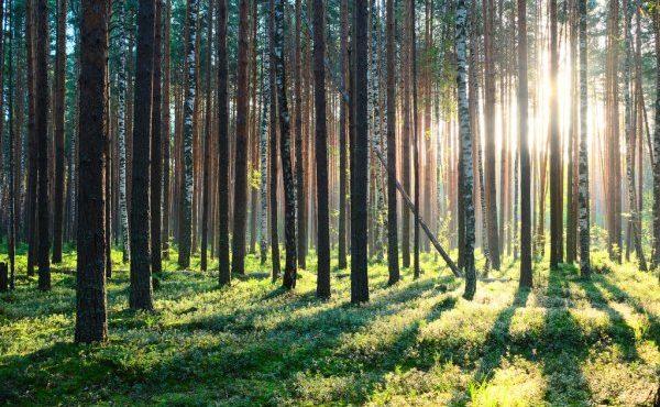 depositphotos_81964036-stock-photo-sunrise-in-pine-forest