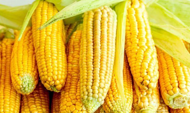 kukuruza-pochatki-urozhai