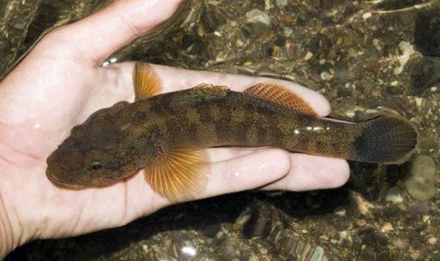 ryba-bychok-1