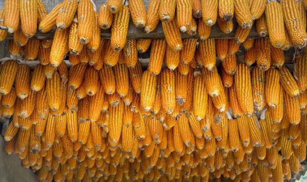 30ed896-corn (1)