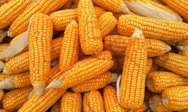 corn-1726017_1920