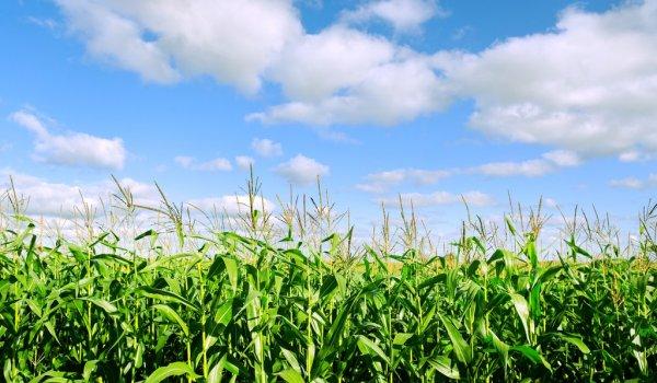 depositphotos_19089135-stock-photo-growing-corn
