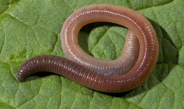 Common Earthworm