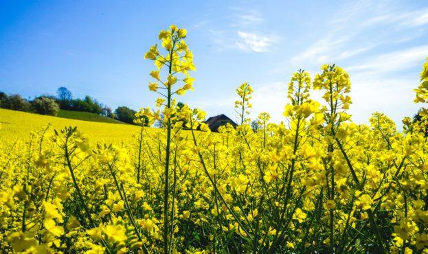 oilseed-rape-5059943_1920