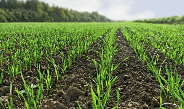 Young,Green,Wheat,Growing,In,Field.