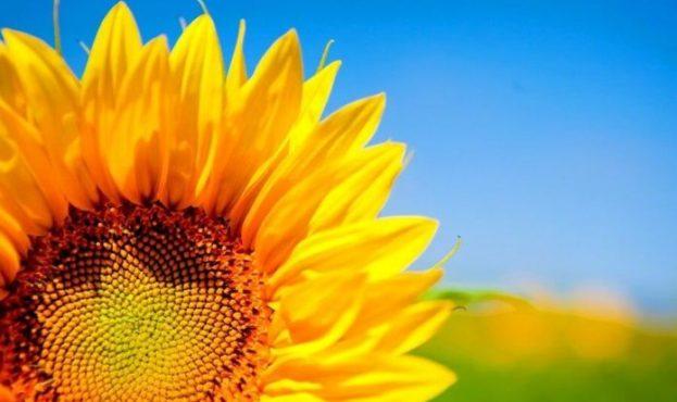 Sunflower-kopyya-696x426