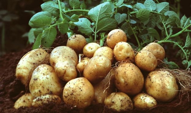 EU-Kommission genehmigt Stärkekartoffel Amflora / EU Commission approves Amflora starch potato