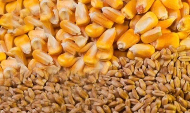 kukuruzy-pshenicy_0