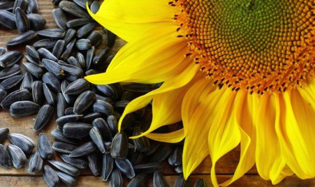 sunflower_seeds-49050