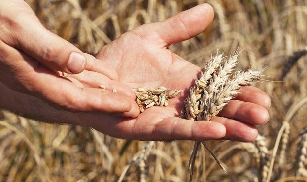 зерно руки фермер iStock